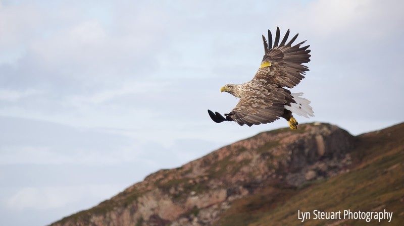 Whitetail Eagle (aka Sea Eagle) - the largest bird of prey in the UK and 4th largest in the world.  They have a wingspan of almost 8 ft!  They are on the red-list of the endangered species and are mainly confined to the costs of northern Scotland.