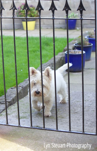 Scottish Westie seen in Stonehaven