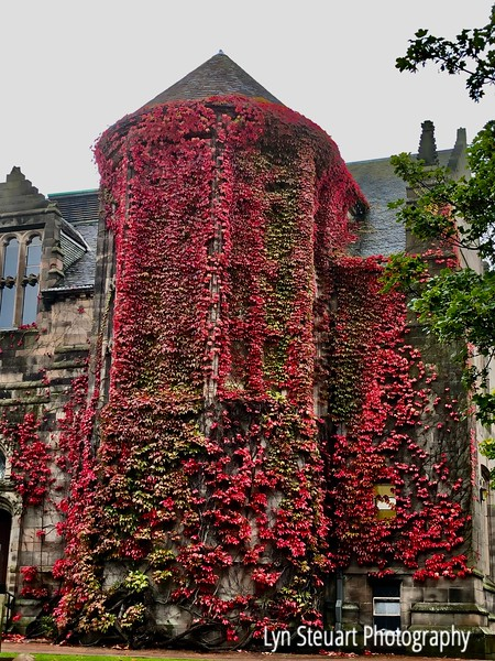 Decorative vine (nme unknown) climbs the campus buildings of University of Aberdeen, Scotland
