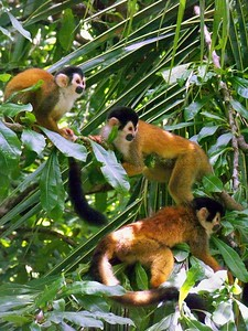 Squirrel monkeys are highly social.