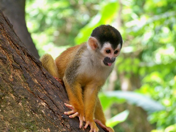 The Squirrel Monkey is the most endangered primate in Central America.