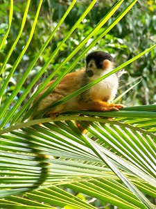 The Squirrel Monkey is the most endangered monkey species in Central America.