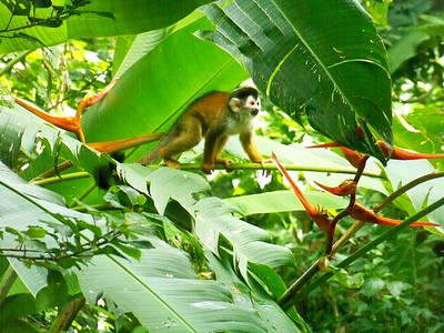 Young squirrel monkey, about 5 months old.