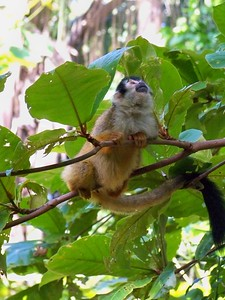 A pregnant squirrel monkey.