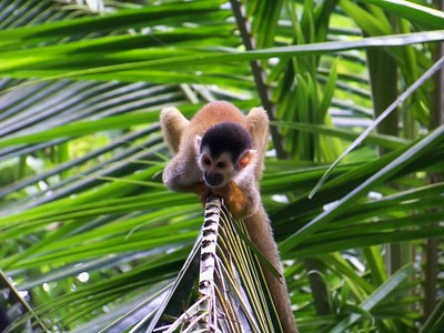 The squirrel monkey tail is used for balance. Groups move through the trees searching for insects, lizards, and even bats.
