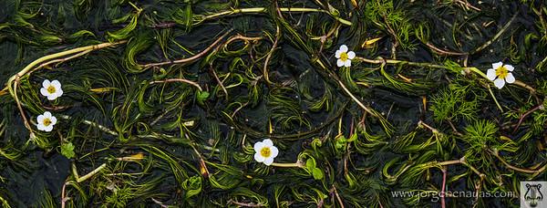 Ranúnculo acuático (Ranunculus aquatilis)
