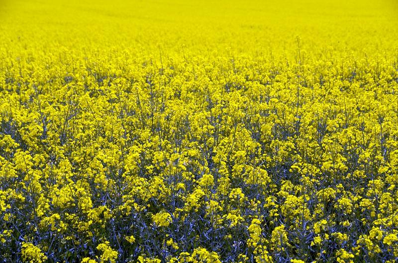 Rapeseed field in Loire Valley