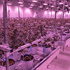 Revolutionary Clinics announced the launch of their wholesale brand strategy which includes a new umbrella brand, Licit Brands, for wholesale customers across the Commonwealth. The announcement continues to support the growth of their cultivation facility, jobs for new light manufacturing, delivery and other ancillary businesses. The Chocolate Oranges strain at the facility. It looks purple due to the light frequency it grow best in. SENTINEL & ENTERPRISE/JOHN LOVE