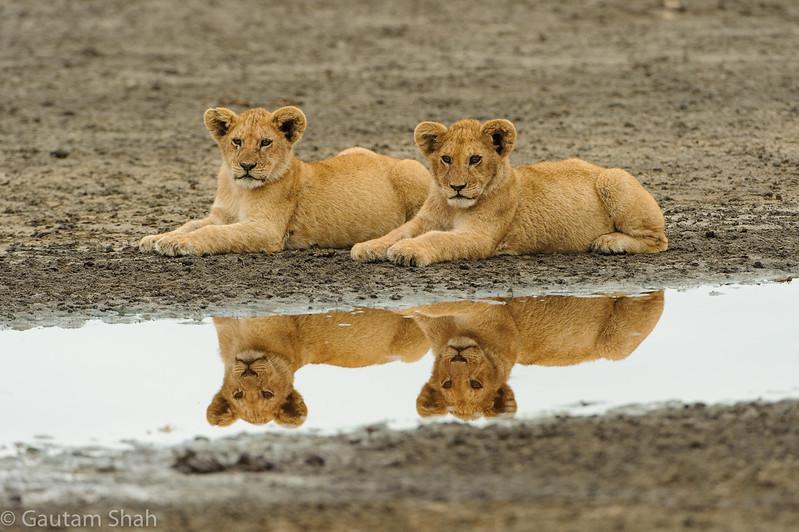 Lion - Ndutu - Tanzania