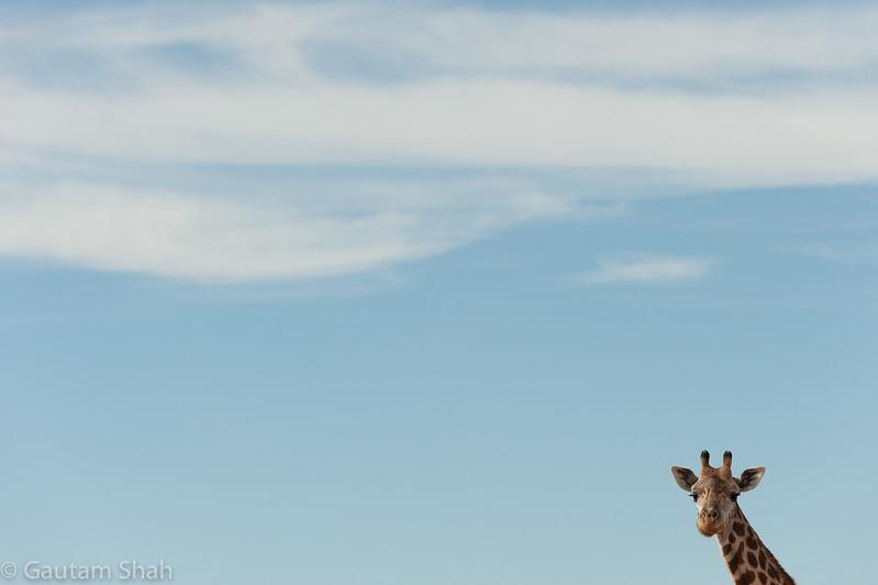 Giraffe - Nairobi National Park - Kenya