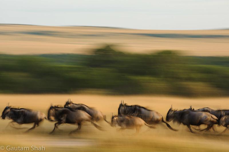 Wildebeest - Maasai Mara - Kenya