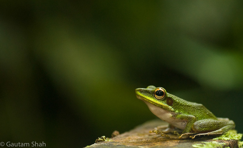 Unknown tree frog - Mulu - Malaysian Borneo