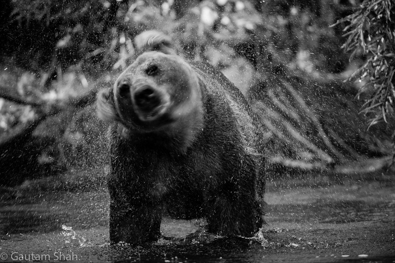 Grizzly bear - Kamchatka - Russia