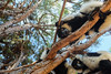 Black and white ruffed lemur - Madagascar