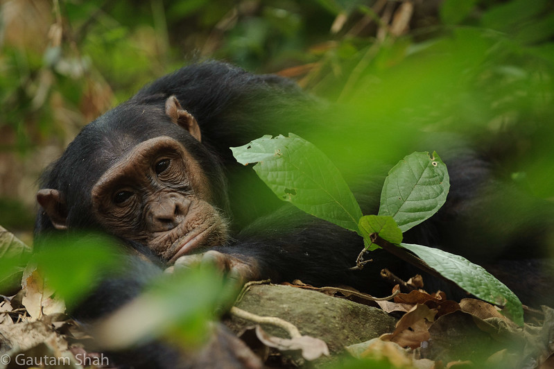 Chimpanzee - Mahale Mountains - Tanzania