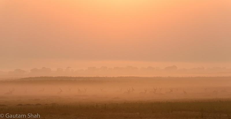 Red lechwe - Busanga Plains - Zambia