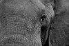 Elephant - Aberdares - Kenya