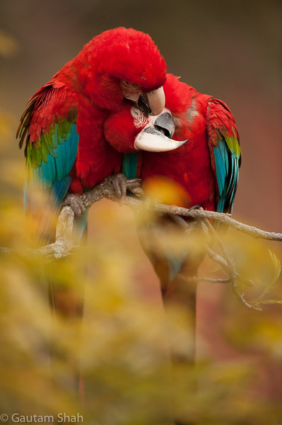 Red and green macaws - Pantanal - Brazil
