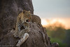Leopard - South Luangwa - Zambia