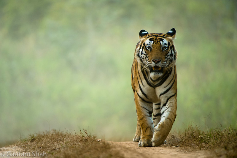 Bengal tiger - Kanha - India