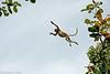 Proboscis monkey - Baku - Malaysian Borneo