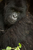 Mountain gorilla - Volcanoes National Park - Rwanda