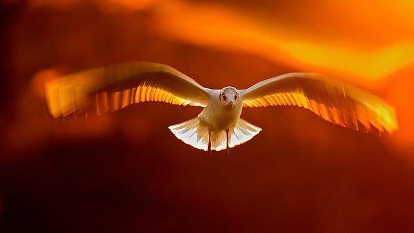 Abendflug - Lachmöwe (Chroicocephalus ridibundus) im letzten Abendlicht / Evening Flight - Black-headed Gull in the last light