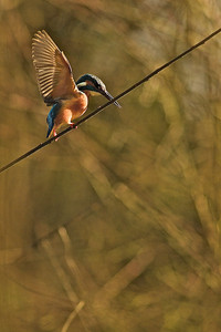 Rope dancer - Kingfisher Seiltänzer - Eisvogel (Alcedo atthis)