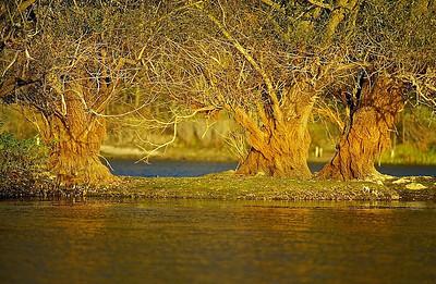 Silber-Weiden (Salix alba) im ersten Sonnenlicht - Fermasee, Rheinstetten, Deutschland  Salix alba in first sunlight - Fermasee, Rheinstetten, Germany - mehr dazu im Blog: Vergänglich