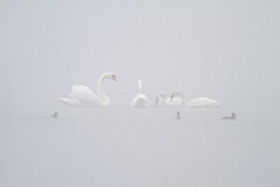 Höckerschwäne (Cygnus olor) im Nebel - Fermasee, Rheinstetten, Deutschland  Mute Swans in the fog - Fermasee, Rheinstetten, Germany  mehr dazu im Blog: Fotografieren im Nebel  - mehr dazu im Blog: Rheinauen Kalender 2013