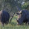 Rhino - Næsehorn