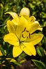 Topiary Garden - Asian Lily