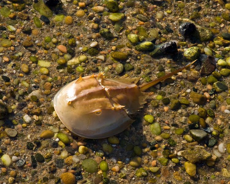 Horseshoe Crab shell washed up on Napatree Point