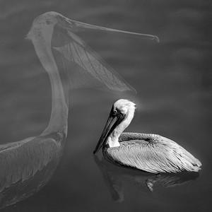 Pelican Pelican