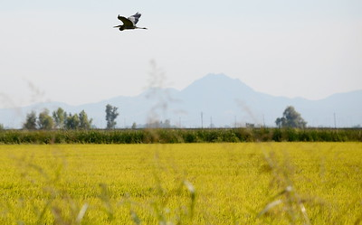 Birds fly over a rice field near the Rice Experiment Station in Butte County, California Friday Aug. 31, 2018.  (Bill Husa -- Enterprise-Record)