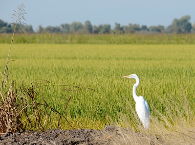 An egret is seen in a rice field in Butte County, California Friday Aug. 31, 2018.  (Bill Husa -- Enterprise-Record)