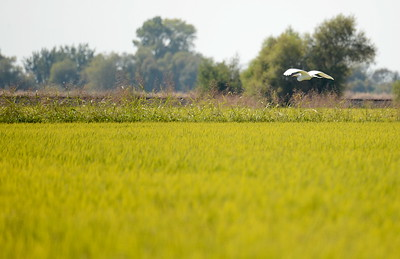 An Egret flys over a rice field in Butte County, California Friday Aug. 31, 2018.  (Bill Husa -- Enterprise-Record)