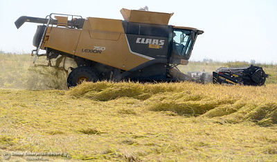 A rice harvester works a field along Midway near Nelson Shippee Rd. in Durham, Calif. Thursday Sept. 20, 2018.  (Bill Husa -- Enterprise-Record)