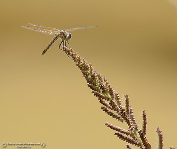 A dragonfly lands on a blade of grass in a field along Midway near Nelson Shippee Rd. in Durham, Calif. Thursday Sept. 20, 2018.  (Bill Husa -- Enterprise-Record)