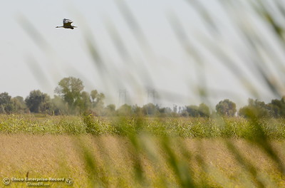 A bird flies over a rice field seen along Nelson Shippee Rd. in Durham, Calif. Thursday Sept. 20, 2018.  (Bill Husa -- Enterprise-Record)