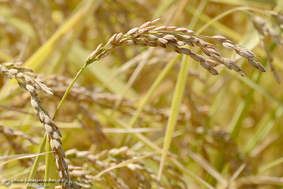 Rice is seen growing in a field along Midway near Nelson Shippee Rd. in Durham, Calif. Thursday Sept. 20, 2018.  (Bill Husa -- Enterprise-Record)