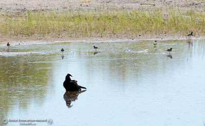 Birds of a feather-   A turkey vulture cools off in a ditch with other birds seen along Nelson Shippee Road in Durham, Calif. Thursday Sept. 20, 2018.  (Bill Husa -- Enterprise-Record)