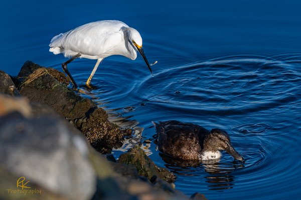 Snowy Egret with Duck