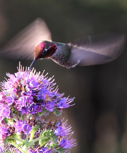 Hummingbird 7