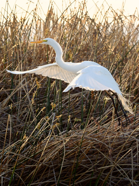 Great Egret Pebble Beach Wetlands