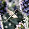 Anna's Hummingbird 1