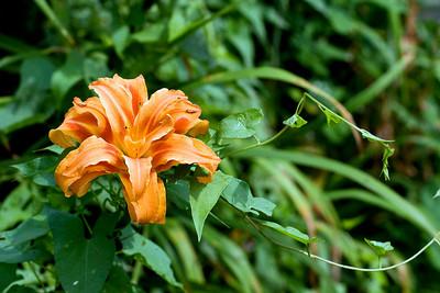 Orange flower blooms in early August in Erie, PA.