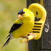 American Goldfinch, Summer Male