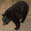 bear06