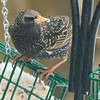 Starling Chowing Down